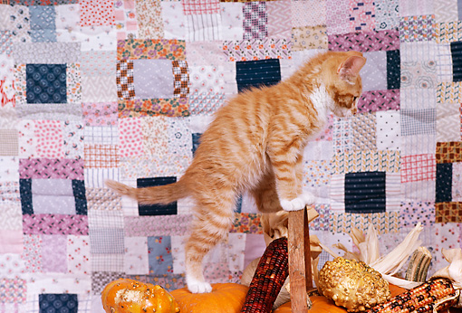 CAT 03 RK1621 05 © Kimball Stock Orange And White Kitten Sitting On Top Of Pumpkins In Basket