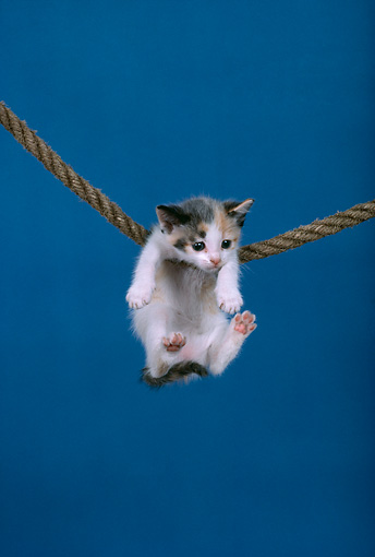 CAT 03 RK1700 01 © Kimball Stock Humorous Shot Of Calico Kitten Hanging From Rope Blue Background