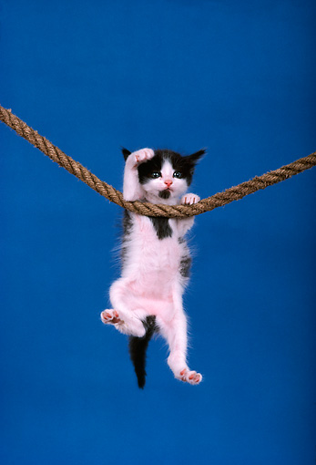 CAT 03 RK1700 12 © Kimball Stock Humorous Shot Of Calico Kitten Hanging From Rope Blue Background