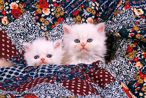 CAT 03 RK1702 01 © Kimball Stock Head Shot Of Two White Persian Kittens Against Quilt
