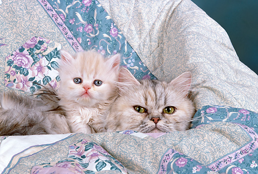 CAT 03 RK1711 01 © Kimball Stock Persian Adult And Kitten Laying Against Quilt