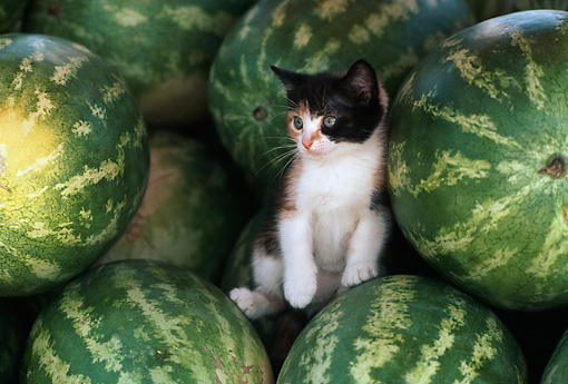 CAT 03 RK1717 14 © Kimball Stock Gray And White Kitten In Between Watermelons