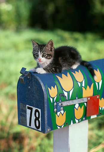 CAT 03 RK1722 02 © Kimball Stock Gray And White Kitten Sitting On Top Of Mailbox