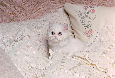 CAT 03 RK1731 07 © Kimball Stock White Kitten Laying On Bed By Pillows