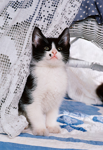CAT 03 RK1735 11 © Kimball Stock Black And White Kitten Sitting Behind Lace Curtain