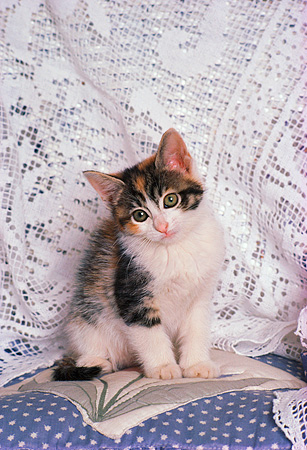 CAT 03 RK1736 02 © Kimball Stock Gray And White Kitten Sitting By Lace Curtain