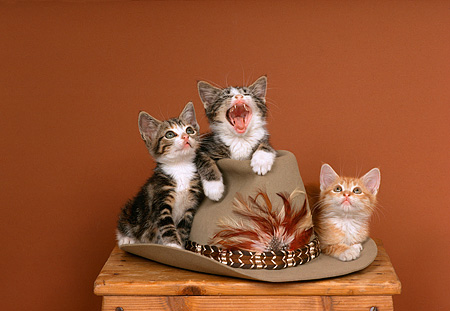 CAT 03 RK1744 06 © Kimball Stock Three Kittens Sitting On Top Of Cowboy Hat