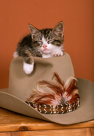 CAT 03 RK1751 11 © Kimball Stock Gray And White Kitten Laying On Top Of Cowboy Hat