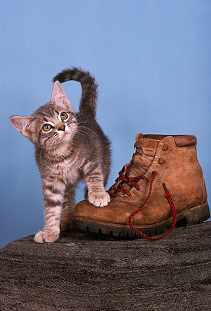 CAT 03 RK1752 14 © Kimball Stock Gray And White Kitten By Hiking Boot On Log Blue Background
