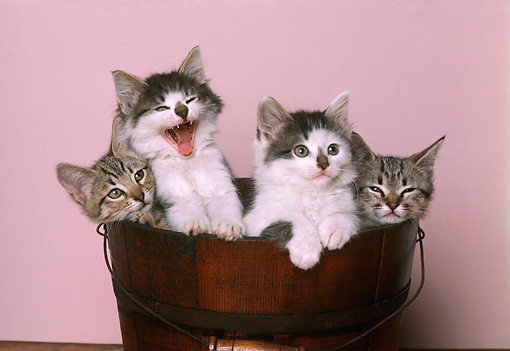 CAT 03 RK1757 11 © Kimball Stock Kittens Sitting In Wooden Bucket Pink Background