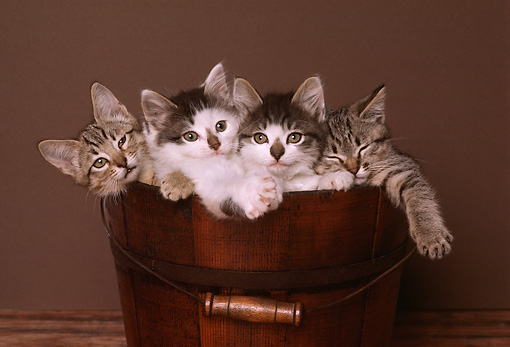 CAT 03 RK1758 04 © Kimball Stock Kittens Sitting In Wooden Bucket Brown Background