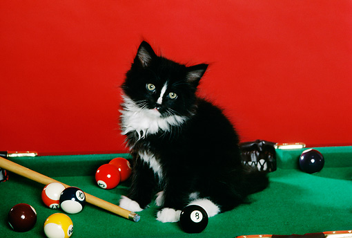 CAT 03 RK1761 01 © Kimball Stock Black And White Kitten Sitting On Pool Table Red Background