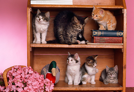 CAT 03 RK1780 02 © Kimball Stock A Group Of Kittens Sitting In Bookcase By Pink Flowers