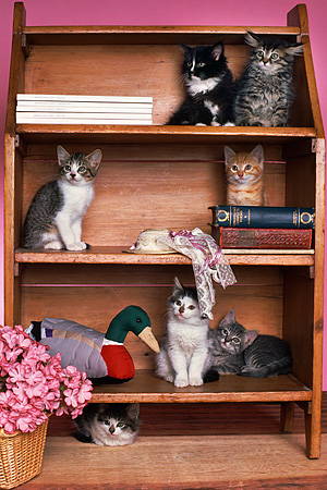 CAT 03 RK1780 11 © Kimball Stock A Group Of Kittens Sitting In Bookcase By Pink Flowers