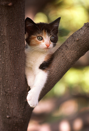 CAT 03 RK1799 05 © Kimball Stock Calico Kitten Sitting On Tree Branch