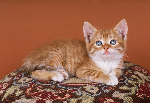 CAT 03 RK1809 24 © Kimball Stock Orange And White Kitten Laying Foot Stool Brown Background