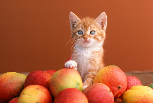 CAT 03 RK1814 28 © Kimball Stock Orange Kitten Sitting In A Pile Of Mangos Brown Background