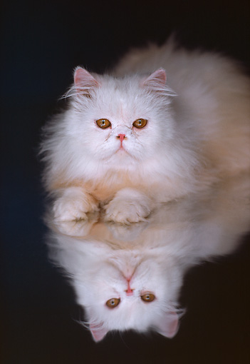 CAT 03 RK1838 45 © Kimball Stock White Persian Laying Mylar Floor With Reflection
