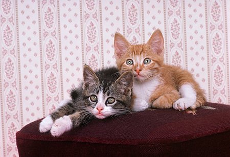 CAT 03 RK1850 08 © Kimball Stock Orange And Tabby Kitten Sitting On Footstool Wallpaper Background