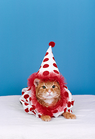 CAT 03 RK1851 31 © Kimball Stock Orange Kitten In Clown Outfit Blue Background