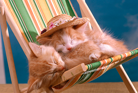 CAT 03 RK1861 02 © Kimball Stock Two Orange Kittens Wearing Hat Sleeping On Beach Chair