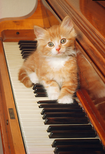 CAT 03 RK1969 05 © Kimball Stock Red And White Kitten Sitting On Piano Keys