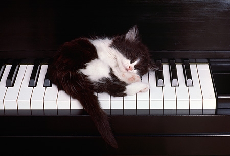 CAT 03 RK1975 08 © Kimball Stock Black And White Kitten Sleeping On Piano Keys
