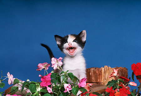 CAT 03 RK2006 11 © Kimball Stock Head Shot Of Black And White Kitten By Flowers Blue Background