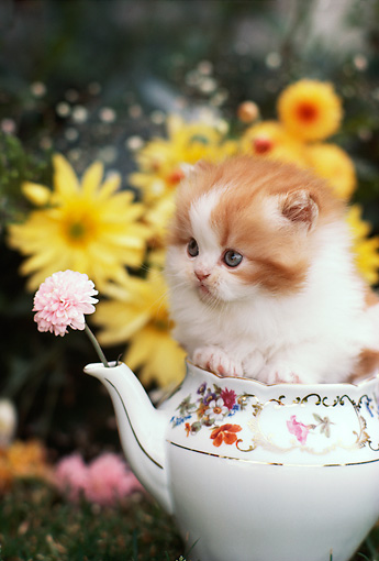 CAT 03 RK2019 02 © Kimball Stock Head Shot Of Orange And White Kitten Inside Teapot By Flowers