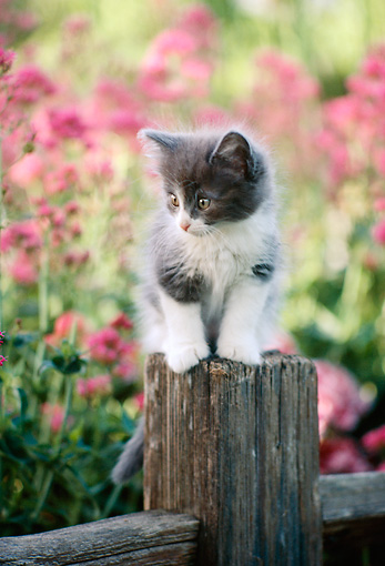 CAT 03 RK2041 17 © Kimball Stock Gray And White Kitten On Wooden Post By Flowers