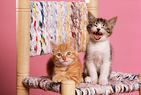 CAT 03 RK2047 06 © Kimball Stock Tabby And Orange Kittens Sitting On Colorful Chair Pink Background