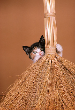 CAT 03 RK2053 45 © Kimball Stock Calico Kitten With Grass Broom Brown Background