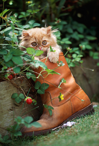 CAT 03 RK2062 03 © Kimball Stock Head Shot Of Orange Kitten In Cowboy Boot By Plants