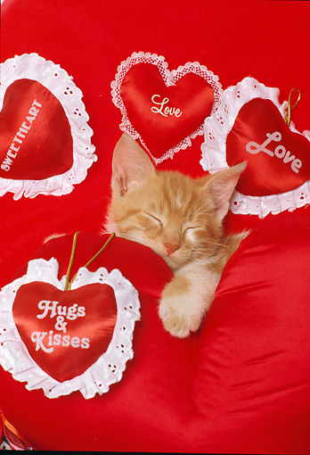 CAT 03 RK2103 07 © Kimball Stock Head Shot Of Orange Kitten Sleeping Surrounded By Red Satin Hearts