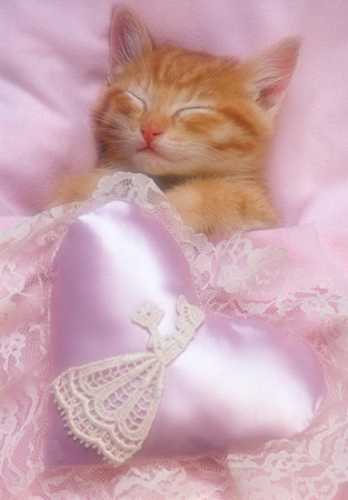 CAT 03 RK2106 07 © Kimball Stock Head Shot Of Orange Kitten Sleeping Under Pink Blanket And Pink Satin Heart
