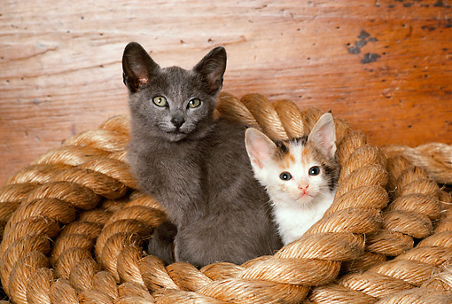 CAT 03 RK2162 13 © Kimball Stock Two Kittens Sitting In Coiled Giant Rope