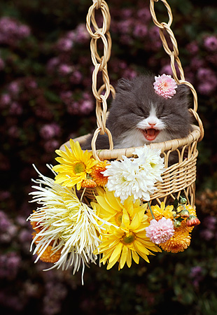 CAT 03 RK2185 07 © Kimball Stock Gray And White Kitten Sitting In Hanging Basket By Flowers