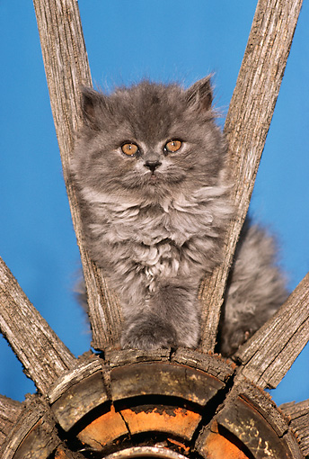 CAT 03 RK2189 08 © Kimball Stock Gray Kitten Sitting Inside Old Wooden Wagon Wheel Blue Background