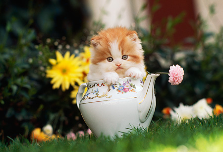 CAT 03 RK2217 03 © Kimball Stock Head Shot Of Orange And White Kitten Sitting In Teapot On Grass By Flowers