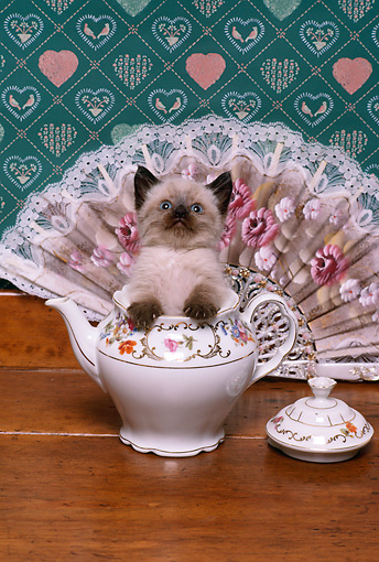 CAT 03 RK2224 01 © Kimball Stock Head Shot Of Siamese Kitten In Teapot By Lace Fan