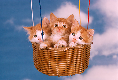 CAT 03 RK2233 51 © Kimball Stock Three Orange And White Kittens Sitting In Hot Air Balloon Clouds Blue Sky