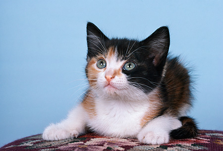 CAT 03 RK2237 06 © Kimball Stock Head Shot Of Calico Kitten Facing Camera Blue Background