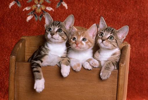 CAT 03 RK2262 02 © Kimball Stock Three Kittens Hanging Over Wooden Box Copper Oriental Rug Background
