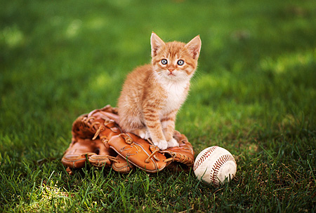 CAT 03 RK2266 06 © Kimball Stock Orange And White Kitten Sitting On Baseball Mit With Ball On Grass