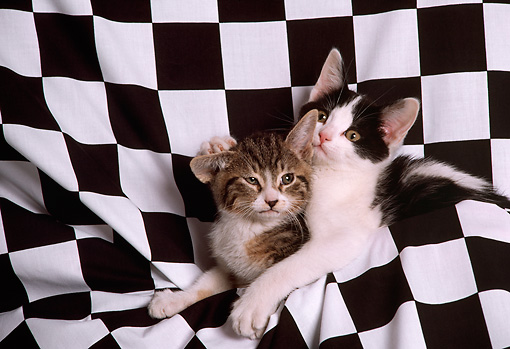 CAT 03 RK2289 10 © Kimball Stock Two Kittens In Black And White Checkered Material