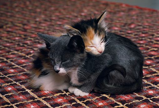 CAT 03 RK2338 01 © Kimball Stock Two Kittens Laying On Each Other Sleeping Brown Square Rug
