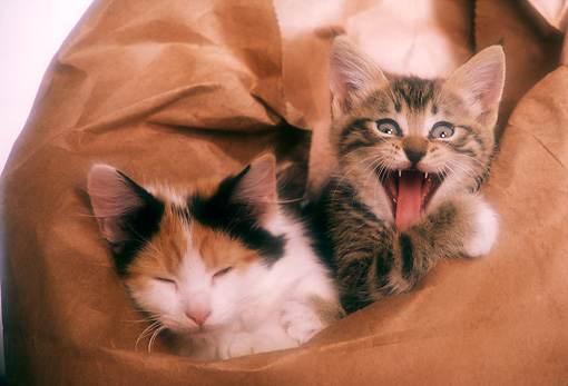 CAT 03 RK2349 04 © Kimball Stock Two Kittens Laying On Brown Paper Bag