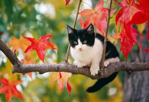 CAT 03 RK2371 48 © Kimball Stock Kitten Climbing Autumn Tree