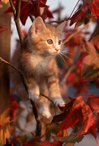 CAT 03 RK2372 44 © Kimball Stock Orange Kitten Climbing Autumn Tree