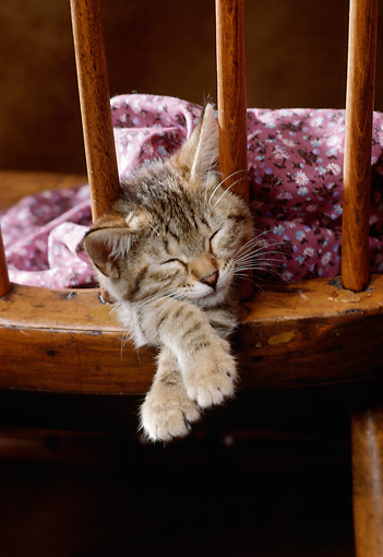 CAT 03 RK2384 17 © Kimball Stock Tabby Kitten Laying In The Back Of Wooden Chair Sleeping